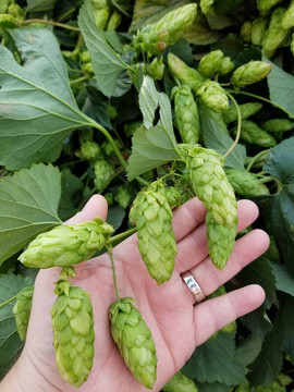Willamette Valley Hops Hand