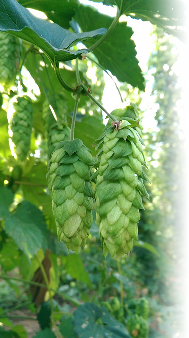 Hops Willamette Valley Hops