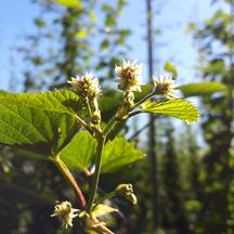 Cascade Bloom