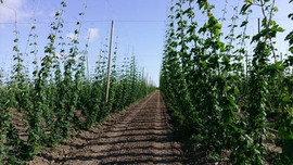Willamette Valley Hops Field