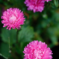 Pink China Aster