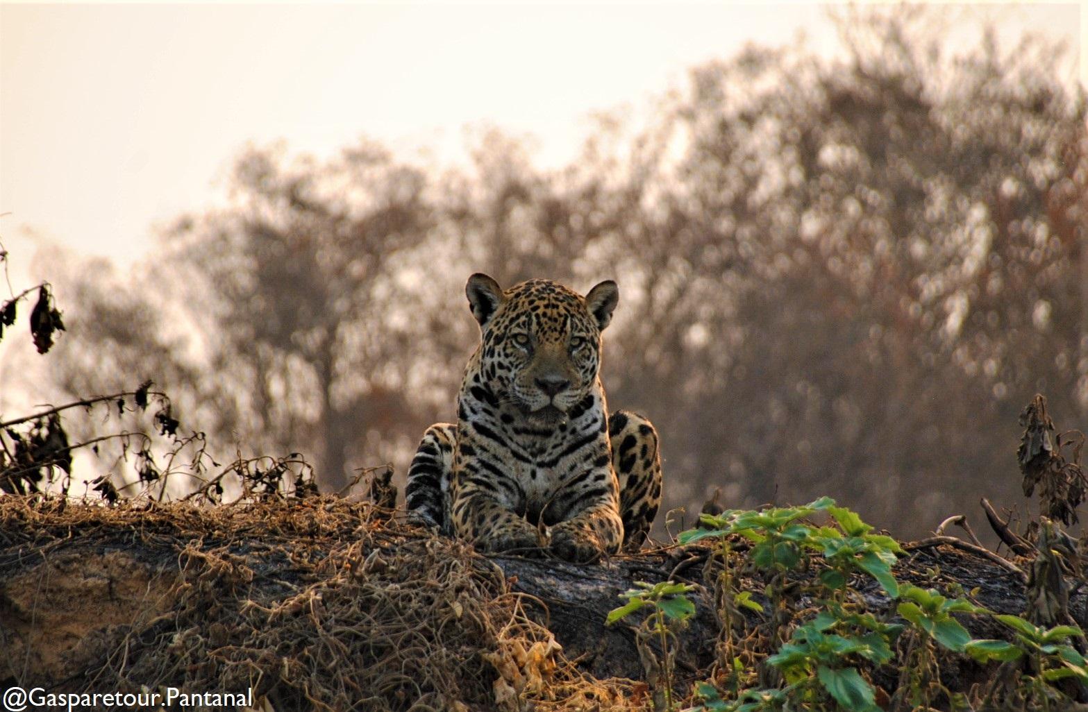 Jaguar tour