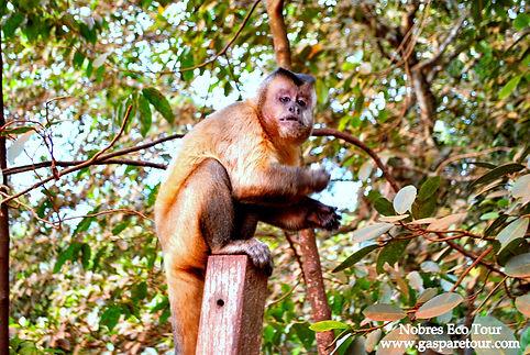 estivado balneary capuchin monkey Nobres