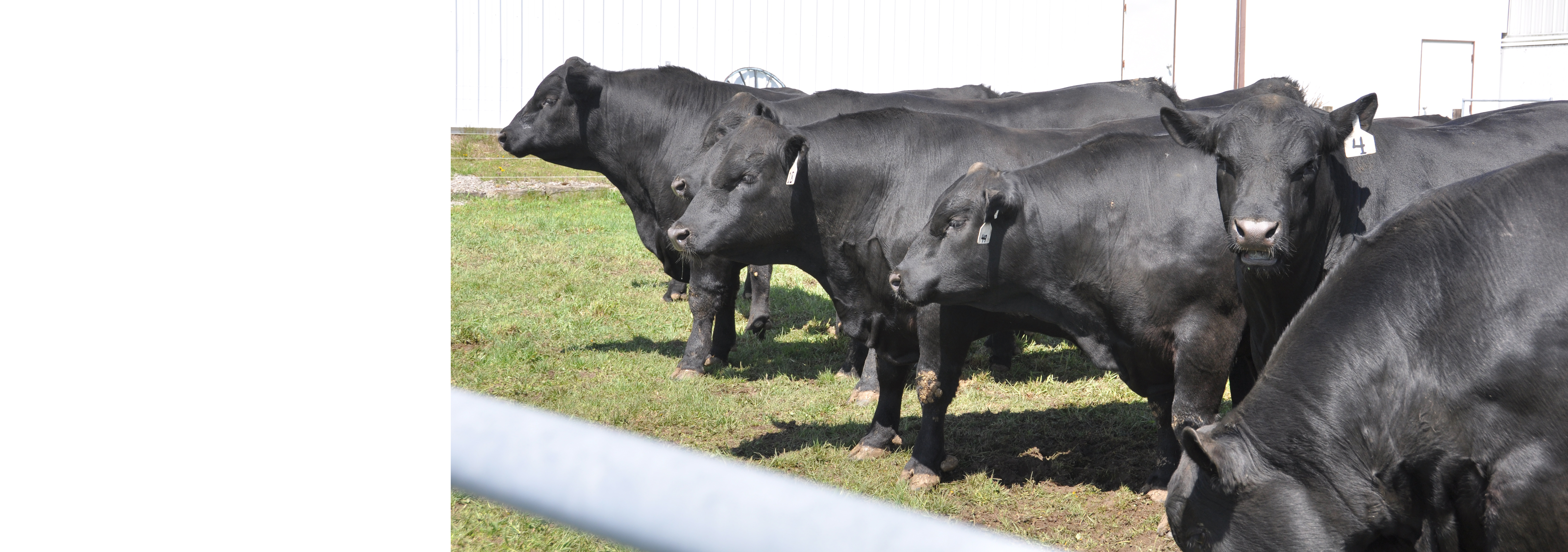 Angus bulls.jpg