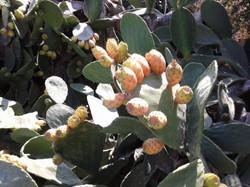 Искеле-Лонг_бич-плоды_кактусов