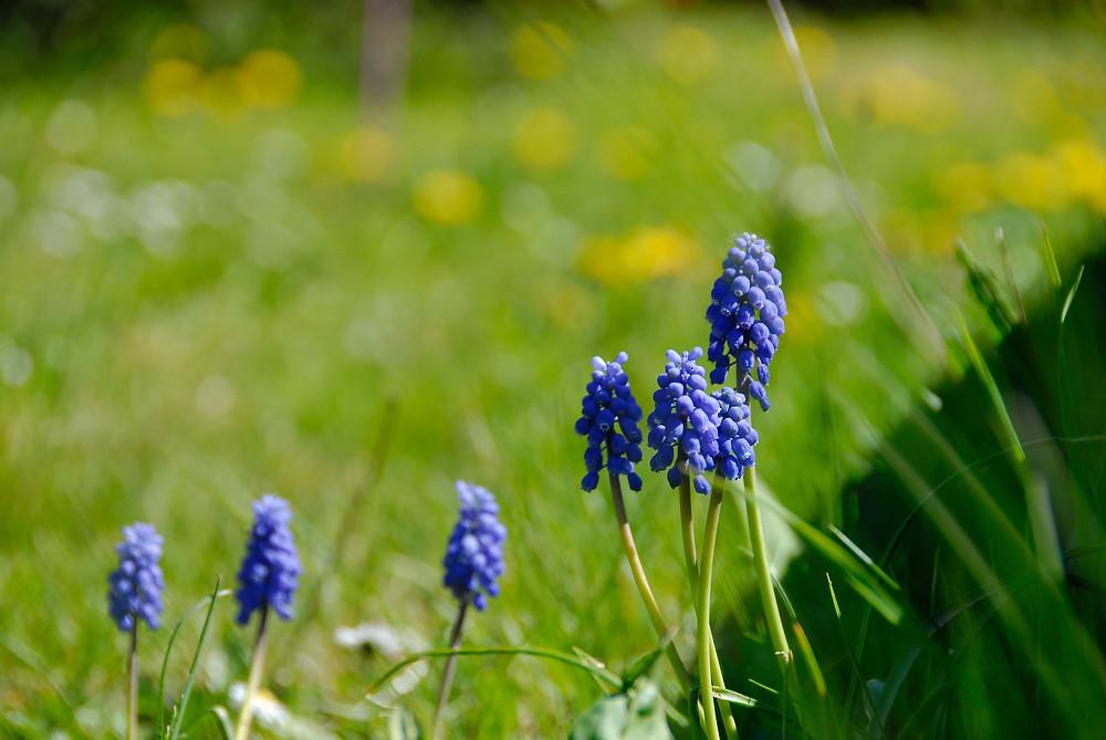 Fleurs bleues dans un champs