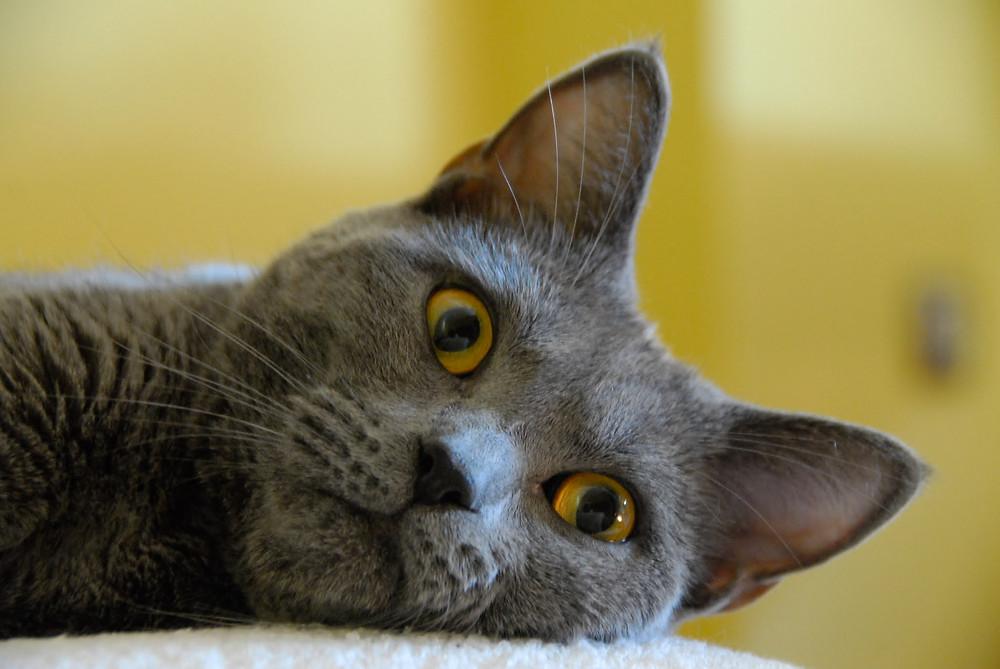 Chat gris regardant dans le vide