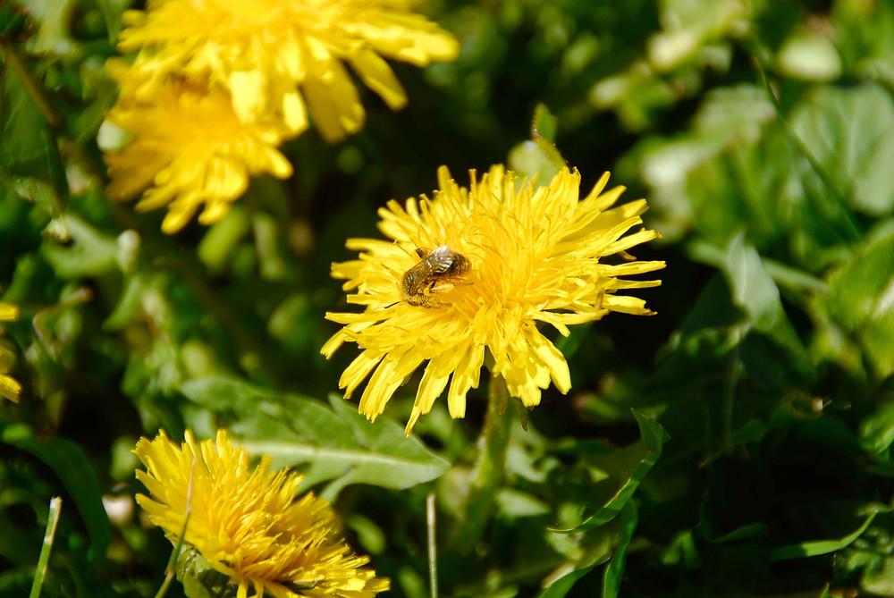 abeilles sur une fleure jaune pissenlit