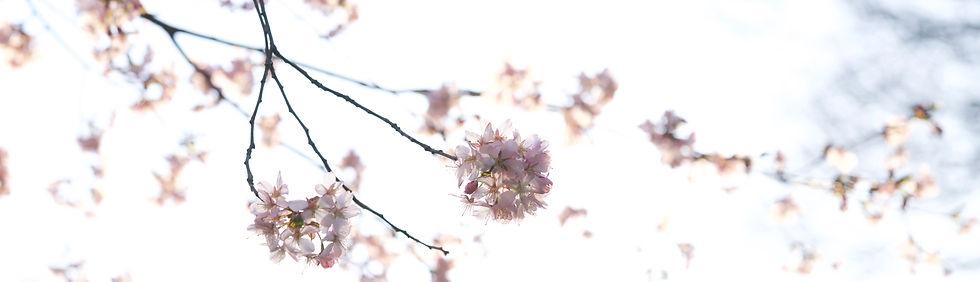 kirsebærtræ_og_hvid_himmelDSC05604.jpe