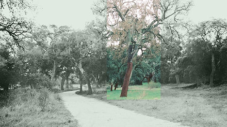 Christopher Taylor Cork oaks in nature r
