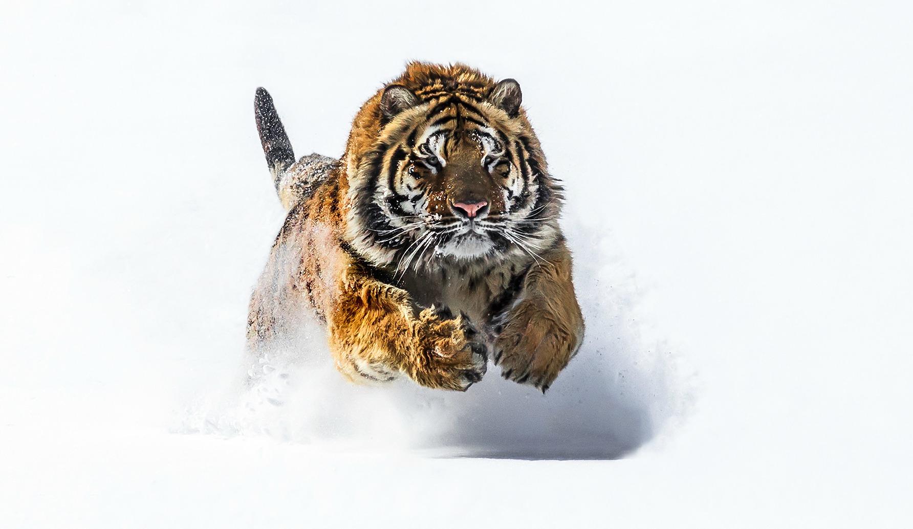 McKay Tiger