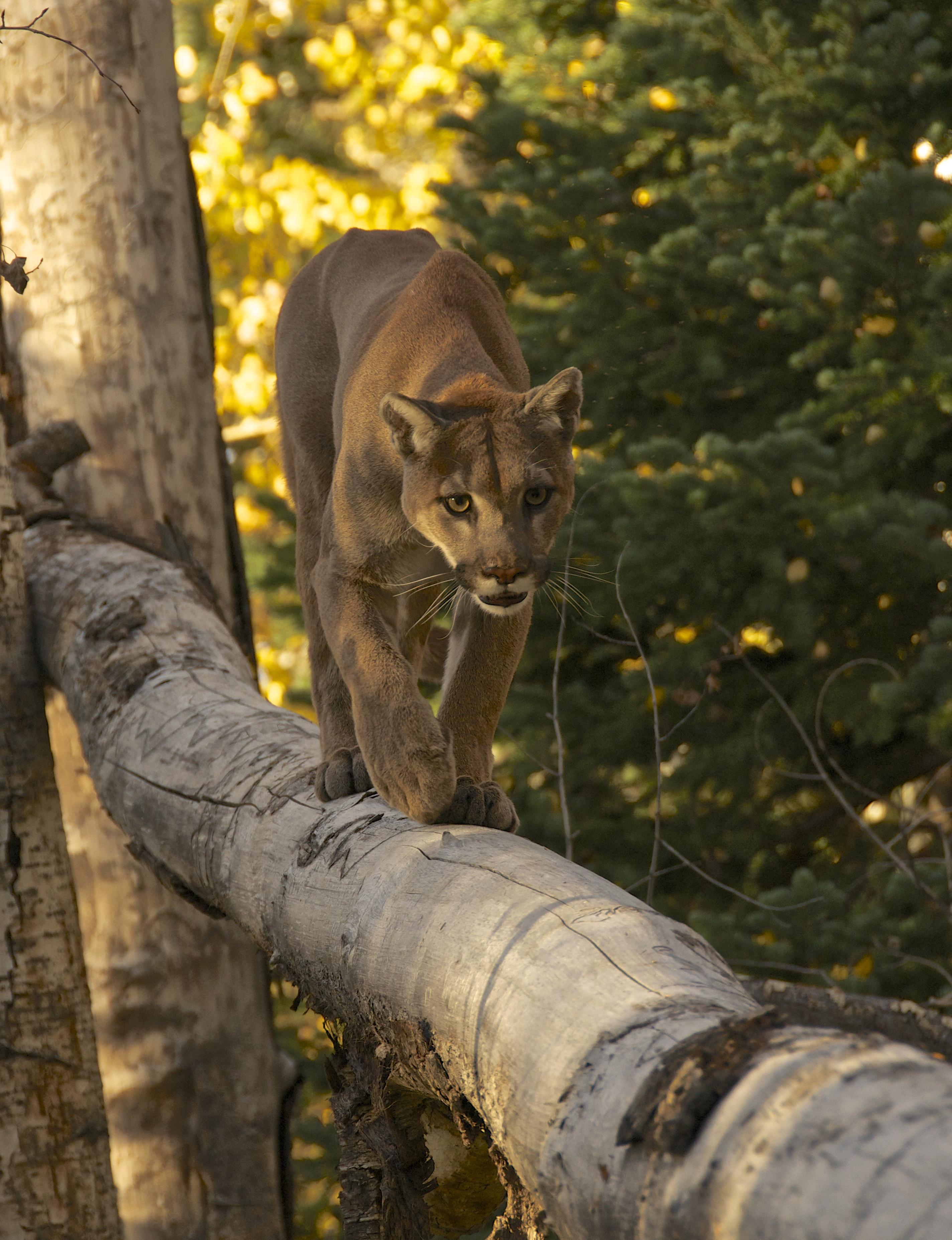cougar moab