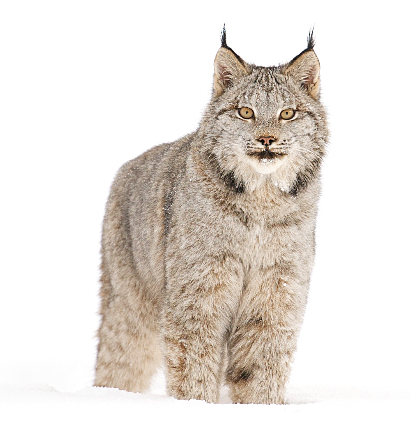 Canadian lynx - MR