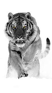 black white tiger_edited.jpg