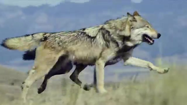 Blue Buffalo Co. Wolf Commercial