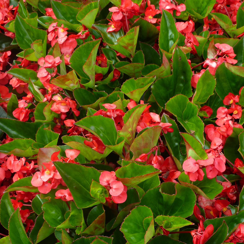 Flower Facts Begonias