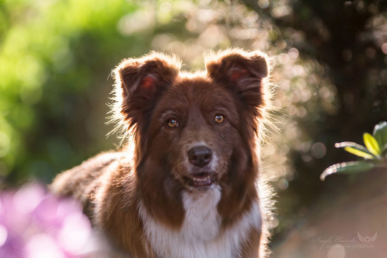 Nele - Border Collie