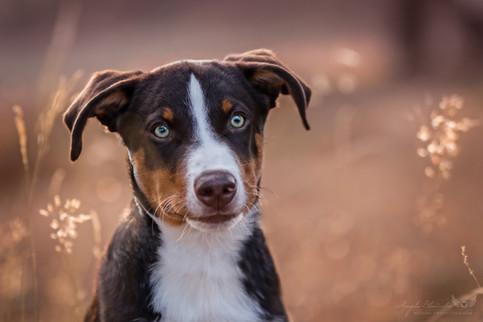 Luke - Appenzeller Sennenhund