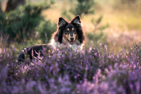 Lumpi - Collie Welpe