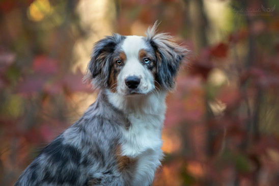 Mini Australian Shepherd Chip