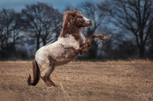 Marlon - Ponyhof Birmes