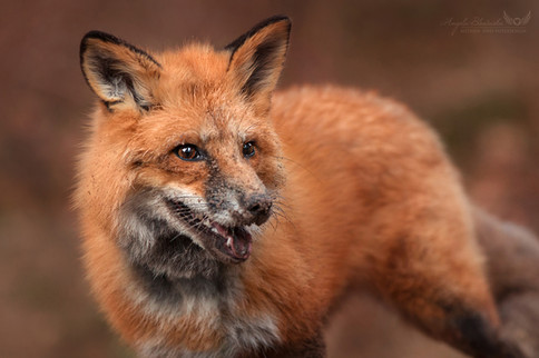 Fuchs beim Buddeln