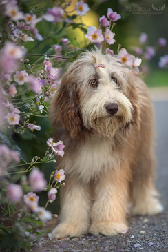 Bearded Collie Josie