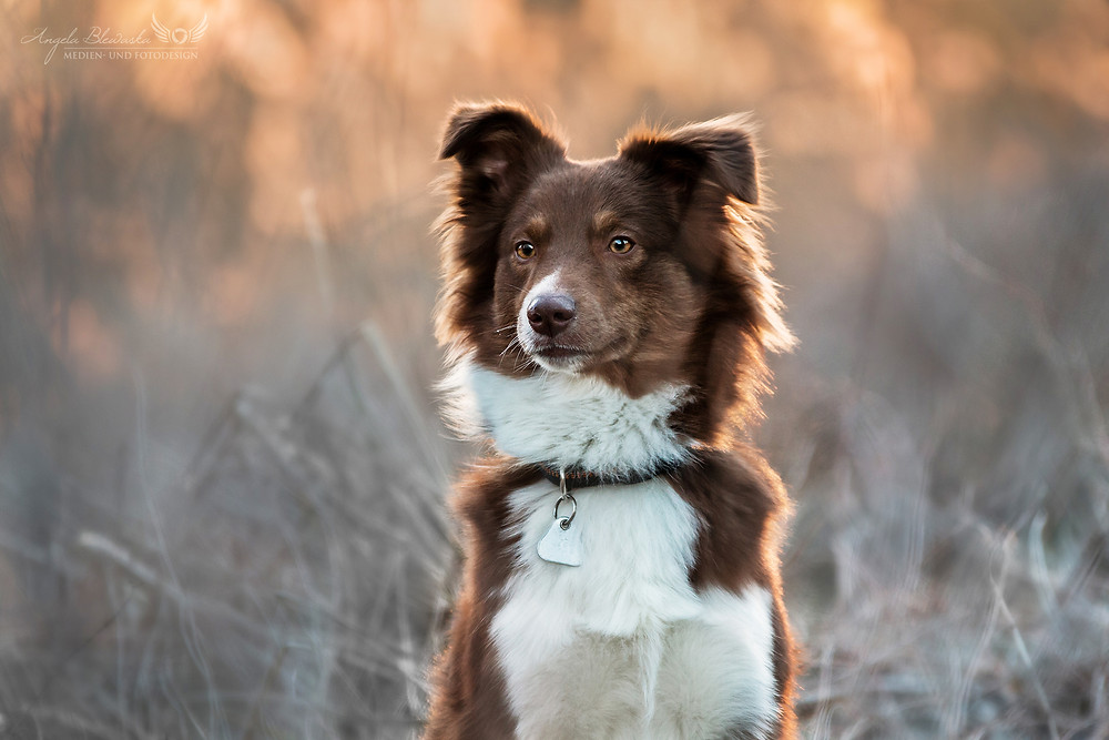 Australian Shepherd Dog - Aussie