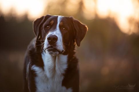 Emil - Sennenhund