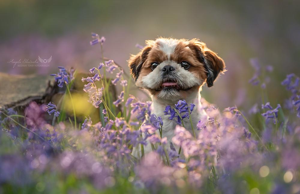 Leo im Blütenmeer - Wald der blauen Blumen, Doveren