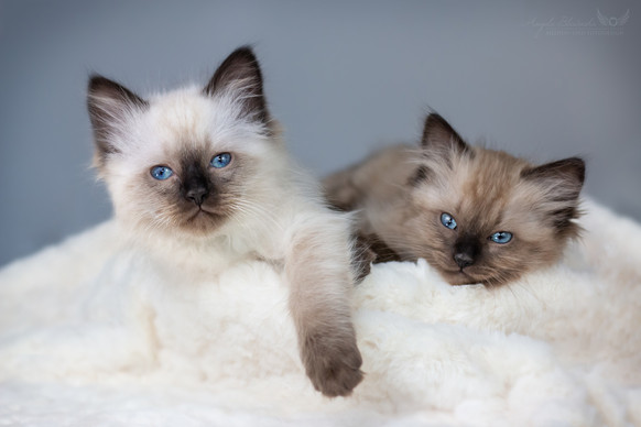 Barney & Balou - Ragdoll Kitten