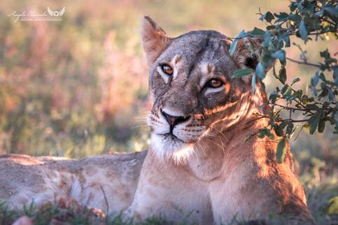 Löwin in Kenia