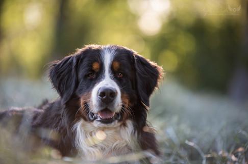 Paul - Berner Sennenhund