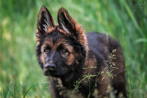 Akando - Schäferhund