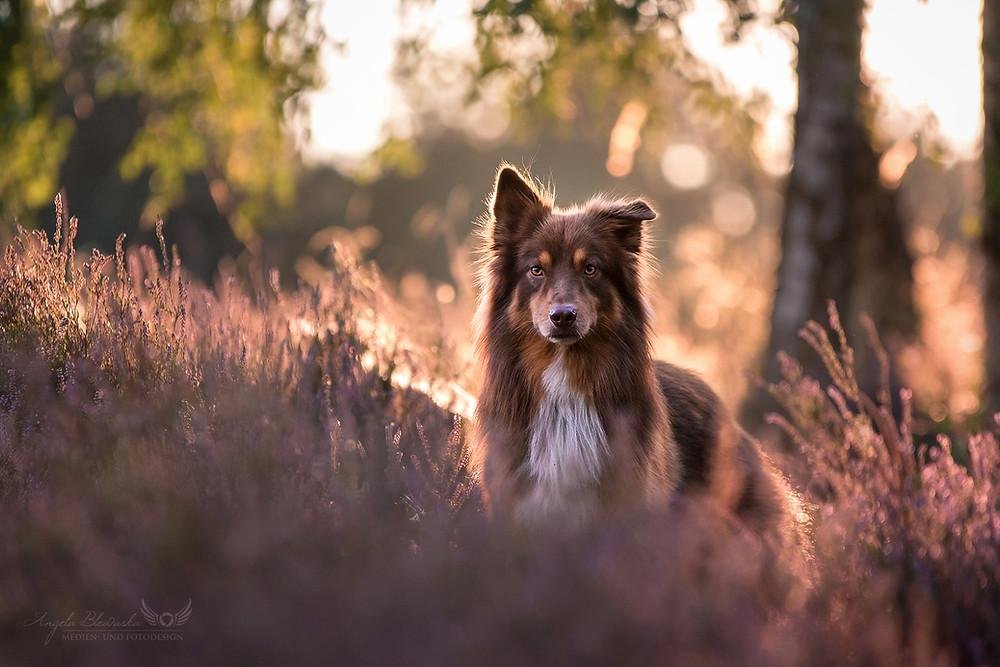 Australian Shepherd Dog - Heide
