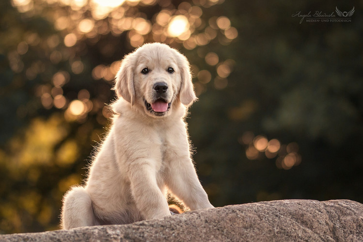 Marshall - Golden Retriever Welpe