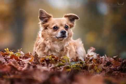 Josi - Chihuahua Mix