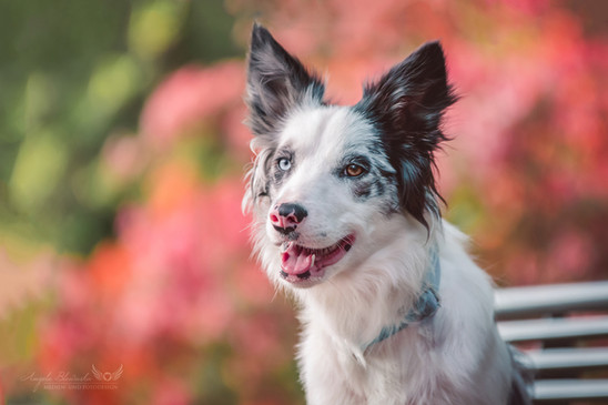 Becky - Border Collie