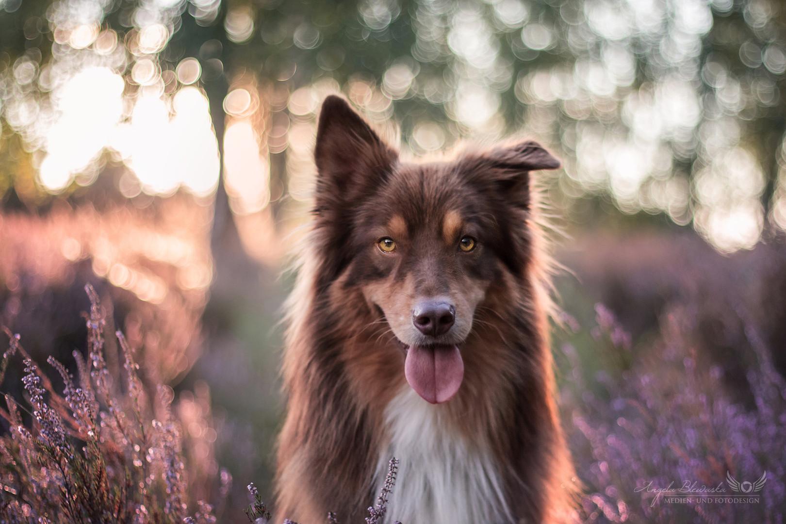 Jack - Australian Shepherd in der Heide