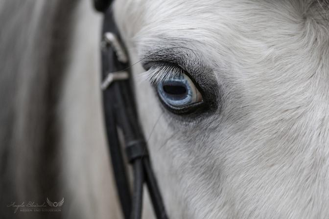 Bobby - Welsh Pony