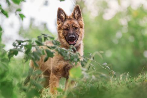 Medina - Schäferhund