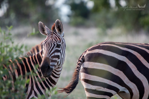 Zebras in Kenia