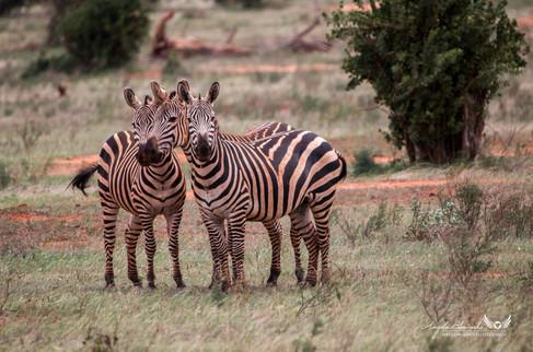 Zebras in Tsavo