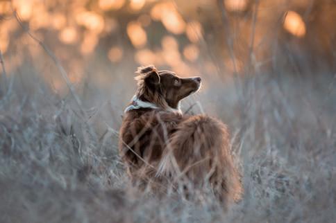 Rusty - Australian Shepherd