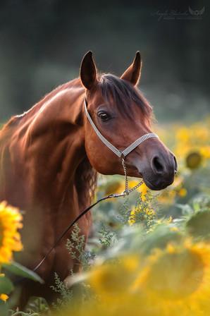 Araber im Sonnenblumenfeld