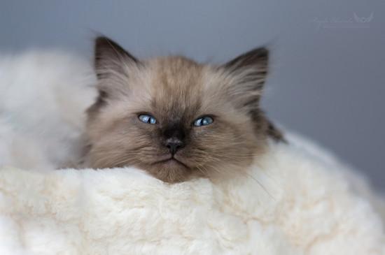 Barney - Ragdoll Kitten