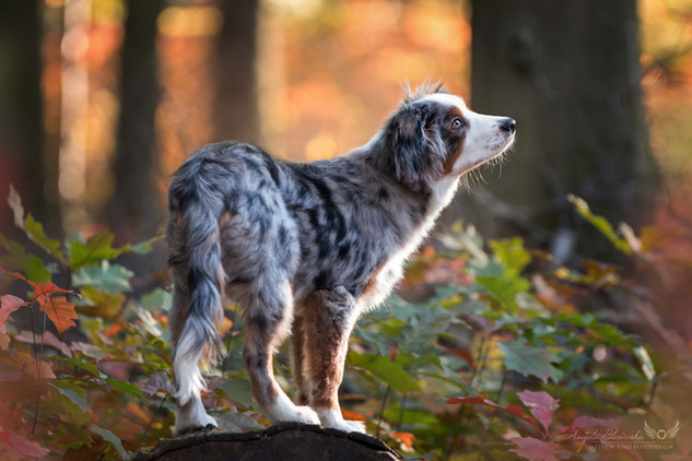 Chip - Mini Australian Shepherd Welpe
