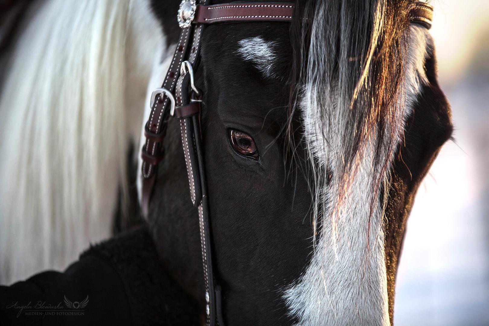 Leo - Paint Horse