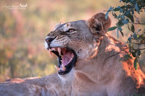 Löwin - Kenia