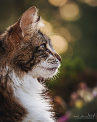 Eryn - Norwegische Waldkatze